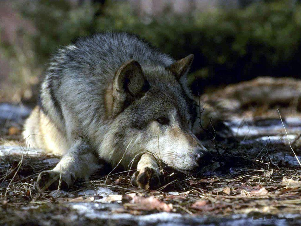 Картинки злых волков (105 фото)